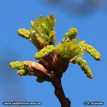 Beginn der Blütezeit: Die männliche Blütenkätzchen der Stiel-Eiche (Quercus robur) wachsen heran.