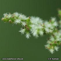 Grosse Brennnessel (Urtica dioica), weibliche Blüten