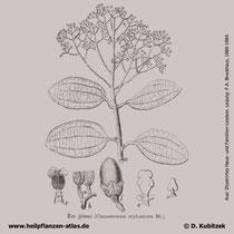 Ceylon-Zimtbaum; Cinnamomum verum; Historisches Bild