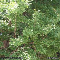 Ginkgobaum (Ginkgo biloba) Äste