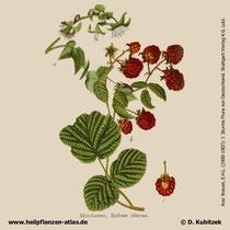 Himbeere, Rubus idaeus, Historische Grafik