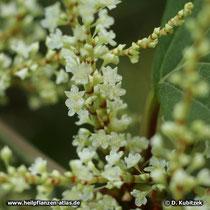 Japanischer Staudenknöterich (Reynoutria japonica): Die Blüten stehen in rispigen Blütenstanden.