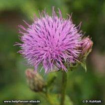 Gekrönte Scharte (Serratula coronata), Blütenkopf (Blütenkorb)