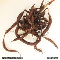 Pelargonium reniforme, Wurzel