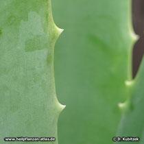 Aloe vera (Aloe barbadensis), Blatt