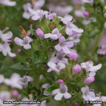 Echter Thymian (Thymus vulgaris), Blütenstand