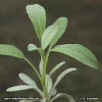 Spanischer Salbei (Salvia lavandulifolia)
