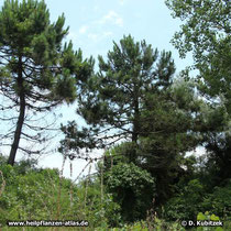 Strand-Kiefer (Pinus pinaster), Standort in Dünen hier auf dem Lido di Venezia (Italien)