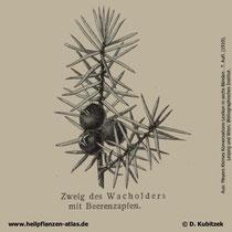 Gewöhnlicher Wacholder; Juniperus communis; Historisches Bild