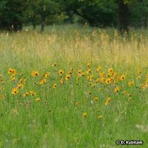 Arnika (Arnica montana) auf einer Wiese im Tiefland (Oberbayern)