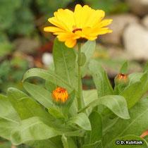 Garten-Ringelblume (Calendula officinalis), Wuchsform