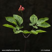 Ginseng (Panax ginseng), Pflanze