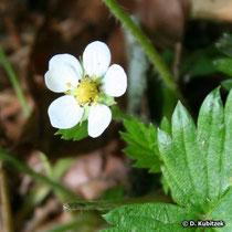 Wald-Erdbeere (Fragaria vesca), Blüte