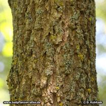 Chinesischer Guttaperchabaum (Eucommia ulmoides), Borke eines alten Baumes