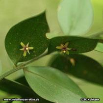 Maeusedorn (Ruscus aculeatus) Blüten