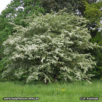 Eingriffeliger Weißdorn (Crataegus monogyna) auf einer städtischen Grünfläche.