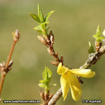 Hänge-Forsythie (Forsythia suspensa) Blattaustrieb während der Blüte