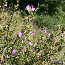 Dornige Hauhechel (Ononis spinosa) Pflanze