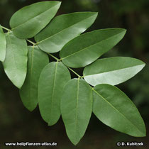 Der Japanische Pagodenbaum hat Fiederblätter. Ihre Oberseite glänzt dunkelgrün