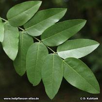 Der Japanische Pagodenbaum (Japanischer Schnurbaum, Styphnolobium japonicum, Sophora japonica) hat Fiederblätter. Ihre Oberseite glänzt dunkelgrün