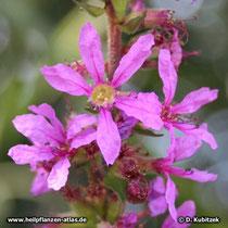 Gewöhnlicher Blutweiderich (Lythrum salicaria), Blüten