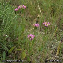 Echtes Tausendgüldenkraut (Centaurium erythraea), Standort in Apulien (Italien)