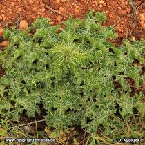 Mariendistel (Silybum marianum), grundständige Blattrosette