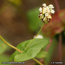 Echter Buchweizen (Fagopyrum esculentum), Blatt mit Blütenstand und Früchten
