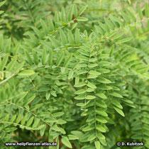 Schnurbaum (Sophora flavescens), Zweige