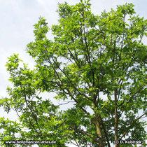 Schnabel-Esche (Fraxinus rhynchophylla), Wuchsform