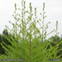 Besen-Beifuß (Artemisia scoparia), Wuchsform