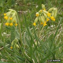 Wiesen-Schlüsselblume (Primula veris), Wuchsform