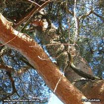 """Der Stamm der Gewöhnlichen Kiefer (Pinus sylvestris) ist zweifarbig: Nach oben ist die Borke fuchsrot bis rötlichgelb (""""Spiegelrinde"""")"""