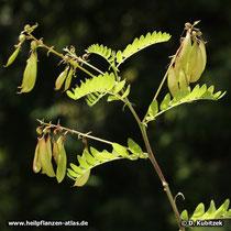 Chinesischer Tragant (Astragalus mongholicus), Früchte tragender Zweig