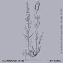 Senegawurzel (Polygala senega); Historisches Bild