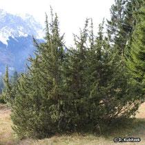 Gewöhnlicher Wacholder (Juniperus communis), Wuchsform