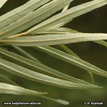 Sanddorn (Hippophae rhamnoides): Blätter