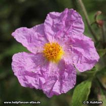 Die Blütenblätter der Kretischen Zistrose sehen geknittert aus.