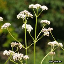 Arznei-Baldrian (Valeriana officinalis), Wuchsform