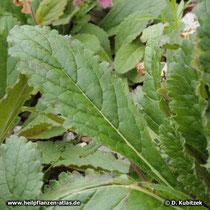 Klebriger Chinafingerhut (Rehmannia glutinosa), Blatt