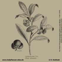 Tee-Strauch; Camellia sinensis; Historisches Bild