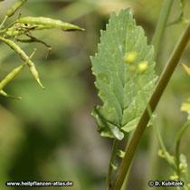 Schwarzer Senf (Brassica nigra), Blatt