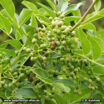 Zanthoxylum bungeanum, Früchte und Blätter