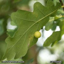 Stiel-Eiche (Quercus robur) Blatt mit einer Galle, die durch Insekten verursacht ist. In der Galle leben Larven.