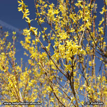 Hänge-Forsythie (Forsythia suspensa) blühend im März