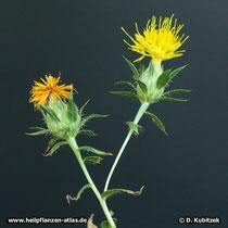 Färberdistel (Färbersaflor, Carthamus tinctorius)