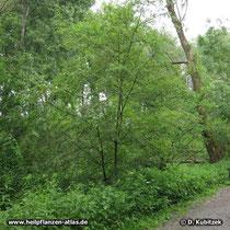 Zweigriffeliger Weißdorn (Crataegus laevigata), Standort, hier in einem Auwald in einer Rhein-Aue (Nordrhein-Westfalen).