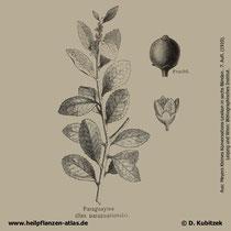 Mate-Strauch; Ilex praguariensis; Historisches Bild