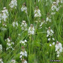 Blühender Fieberklee (Menyanthes trifoliata), Standort: Feuchtwiese