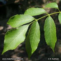 Blumen-Esche (Fraxinus ornus), Blatt